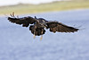 Raven in flight, beak open, wings outstretched and down at rear, feet down.