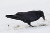 Raven caching an egg in shallow snow. Covering it with grass.