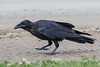 Juvenile raven walking along the edge of the road. p