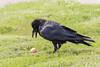 Adult raven contemplating a bown egg.