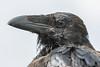 Juvenile raven, headshot. Corvid.
