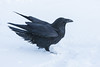 Raven just after landing in snow. Note snow in air around feet.