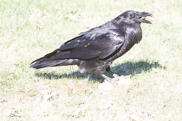 Raven eating a piece of meat on the lawn.