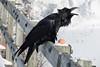 Raven with an egg on railway bridge railing in Moosonee, calling out, beak open.