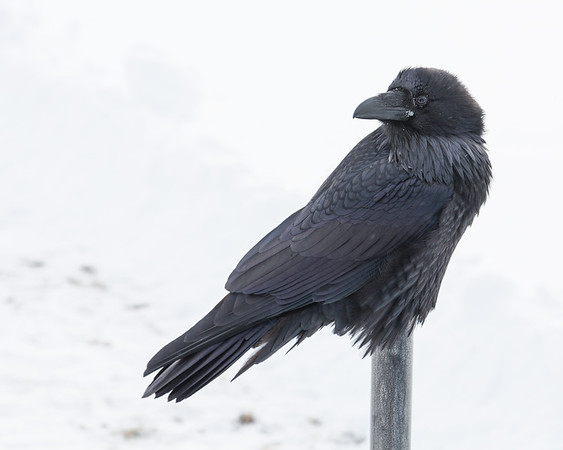 Raven sitting on cigarette receptacle.