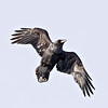 Raven overhead, wings outstretched and bent, shadow of foot on bird's left wing, cropped to 2048 pixels square
