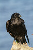 Raven on a fallen tree.
