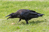Juvenile raven trying to break into an egg.