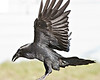 Raven in flight, wings almost vertical, coming to land, feet out of frame, wing tips out of frame.