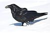 Raven walking in powdery snow