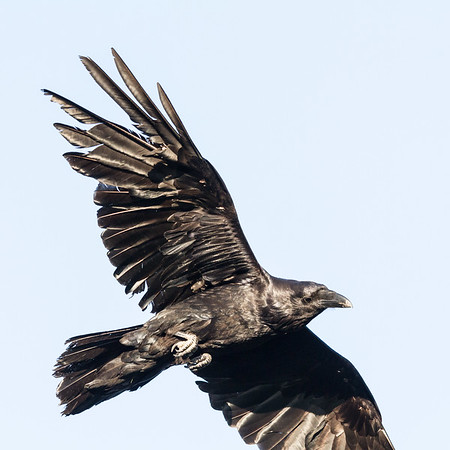 Raven, in flight, one wing tip out of frame, wings both outstretched.