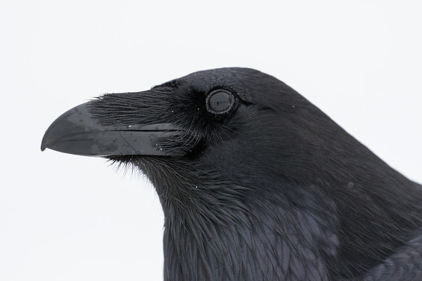 Headshot of raven.