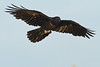 Raven in flight, wings out, feet up