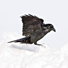 Raven landing, grabbing for snow, cropped to 2048 pixels square
