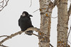 Raven in the trees. Turned head reveals white underfeathers.