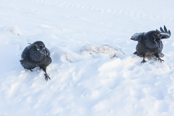 Two ravens walking in snow. Raven on right has raised snow as it walks.