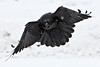 Raven in flight, close to ground, wings half spread, falling snow in frame.
