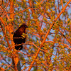 Raven in a tree around sunrise