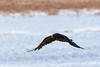 Raven in flight, wings out and down.