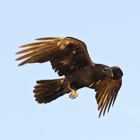 Raven in flight, wings bent, legs down.