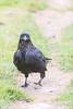 Adult raven walking down front walk.