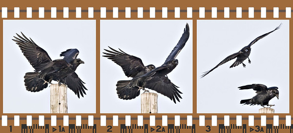 Two ravens who both want to sit on the same utility pole, only one gets so to do, the other flies off, individual frames cropped to 1280 pixels, sequence of three images