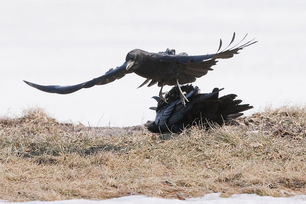 Raven on ground being harrassed by airborne crow. Crows commonly harrass Ravens, the worst that seems to happen is that crows occasionally loose feathers. Cropped image.
