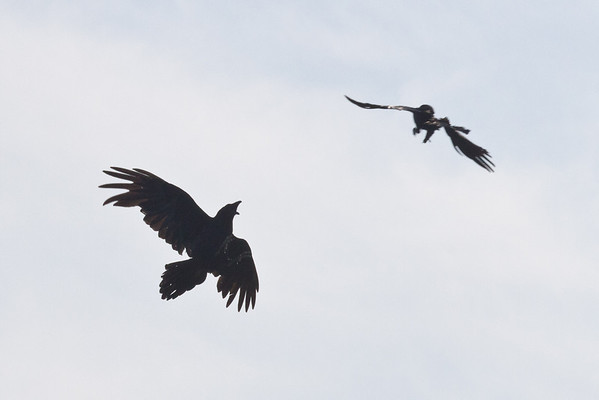 Crow harrassing a raven.