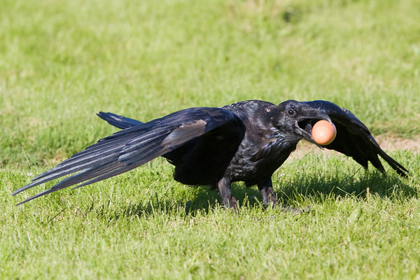 Raven preparing to take off, carrying an egg.