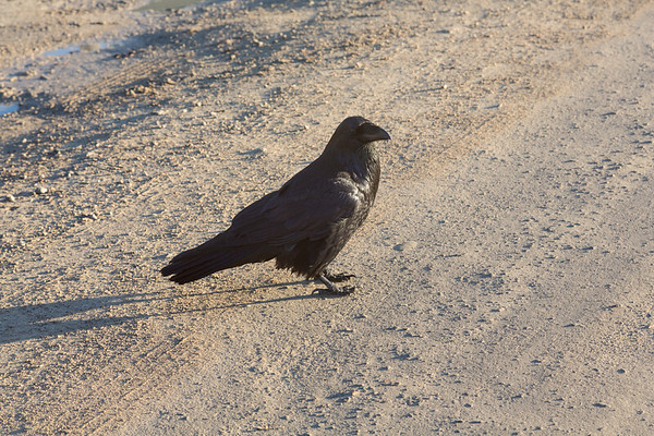 Raven walking with me along Revillon Road.