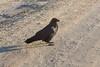 Raven walking with me along Revillon Road.