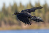 Raven in flight. From side, both wings out.