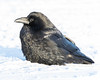 Raven on the snow of the Moose River. Eye open.