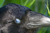 Head shot of raven. Nictating membrame over eye.