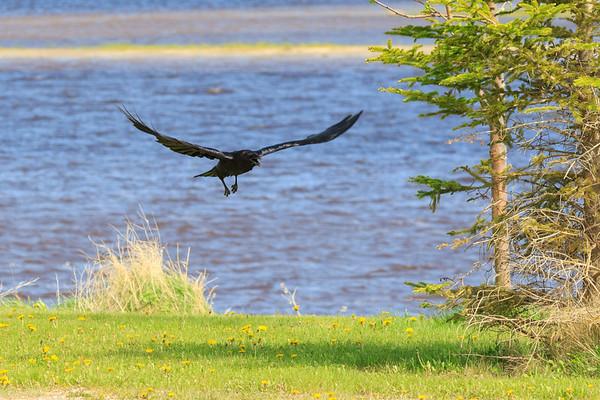 Raven flying with beak open.