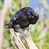 Raven on small stump, somewhat crouched, beak open.