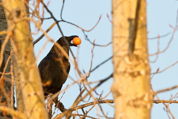 Raven in tree, holding egg.