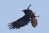 Raven turning to meet incoming crow that is harrassing it