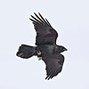 Raven overhead, legs partially extended, square 2336 crop