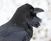Raven headshot at public dock site.