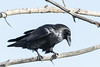 Raven on a tree branch.
