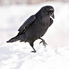 Raven walking on snow, one feet up, cropped to 2048 pixels square