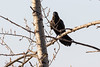 Raven in a tree across the street.