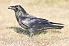 Raven in grass, membrane half covering eye