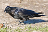 Raven on ground, one foot lifted, beak open. Highly sharpened version of image.
