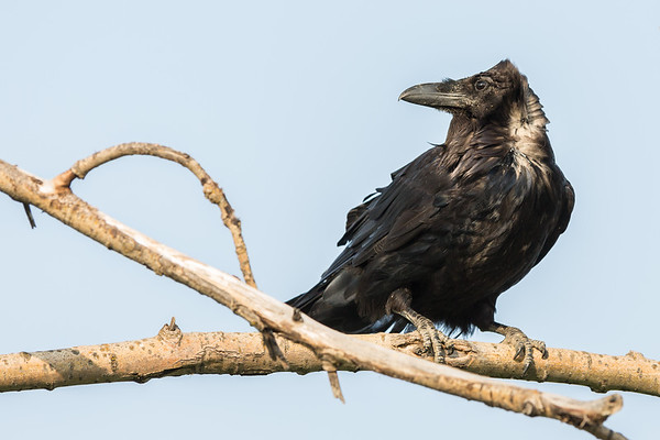 Raven in a tree. Head turned.