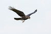 Juvenile raven in flight, wings half up, feet pointing down.