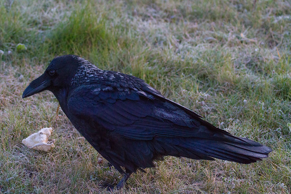 Frost tipped raven on a cold morning.