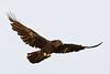 Raven in flight, wingtips up.