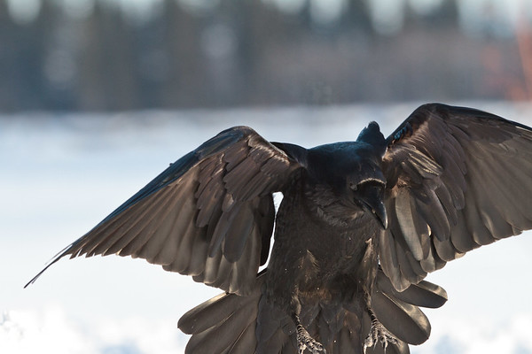 Raven taking off.